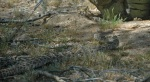 Rattlesnake moving across desert scrub in dappled light