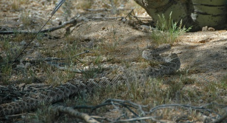 Rattlesnake moving across desert scrub in dappled light