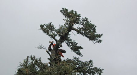 A man wearing an orange hardhat using a chainsaw to remove the top of a tree